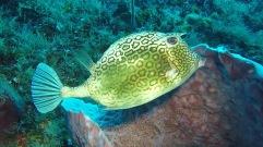 Honeycomb Cow Fish